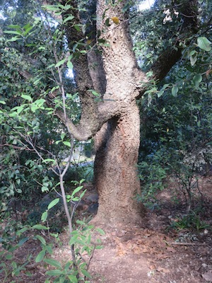 a massive old cork oak further down the slope