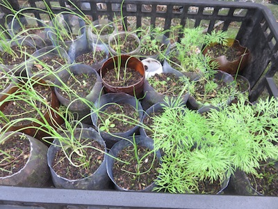 onions and herbs growing in tubes to reduce transplant shock and intensify the output of my small kitchen garden