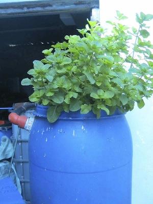 mint growing fast