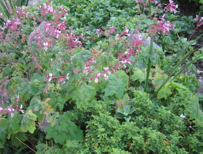 two Pelargoniums in the foreground, on a low terrace
