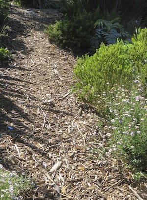 wood chip is the most common mulch at Kirstenbosch and the Fynbos plants seem to thrive on it