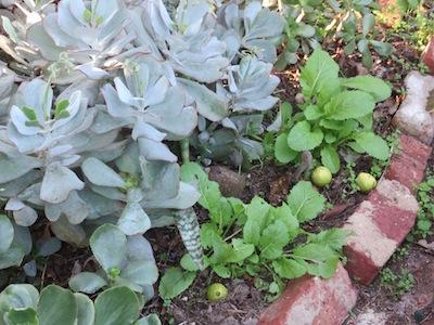 another benefit of mustard, as an edible filler in the garden