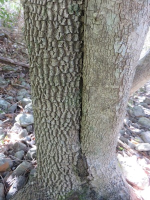 Olinea ventosa bark, old is wrinklier, young bark smooth