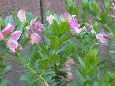 One of the pioneer shrubs, Podalyria in the pea family