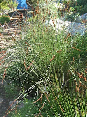 drought tolerant plants can have stems which photosynthesize without leaves