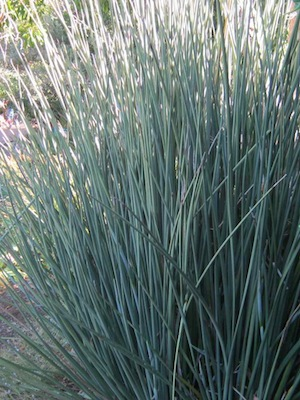 drought tolerant plants can have leaves as stiff and woody as stems. Erect position minimizes radiation
