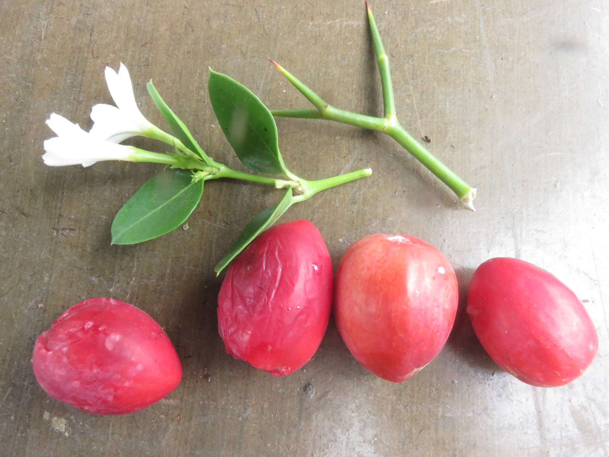 The numnum or Carissa bispinosa, has burning thorns, perfumed flowers and delicious, versatile anti oxidant rich fruit.