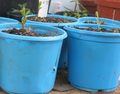 one week old oak seedlings