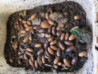 acorns put to germinate in our worm bin