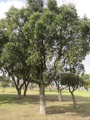 Quercus suber ?