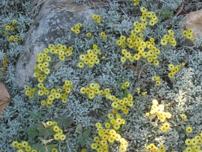 a thin dry skin of soil around some boulders is enough for this lovely Helichrysum