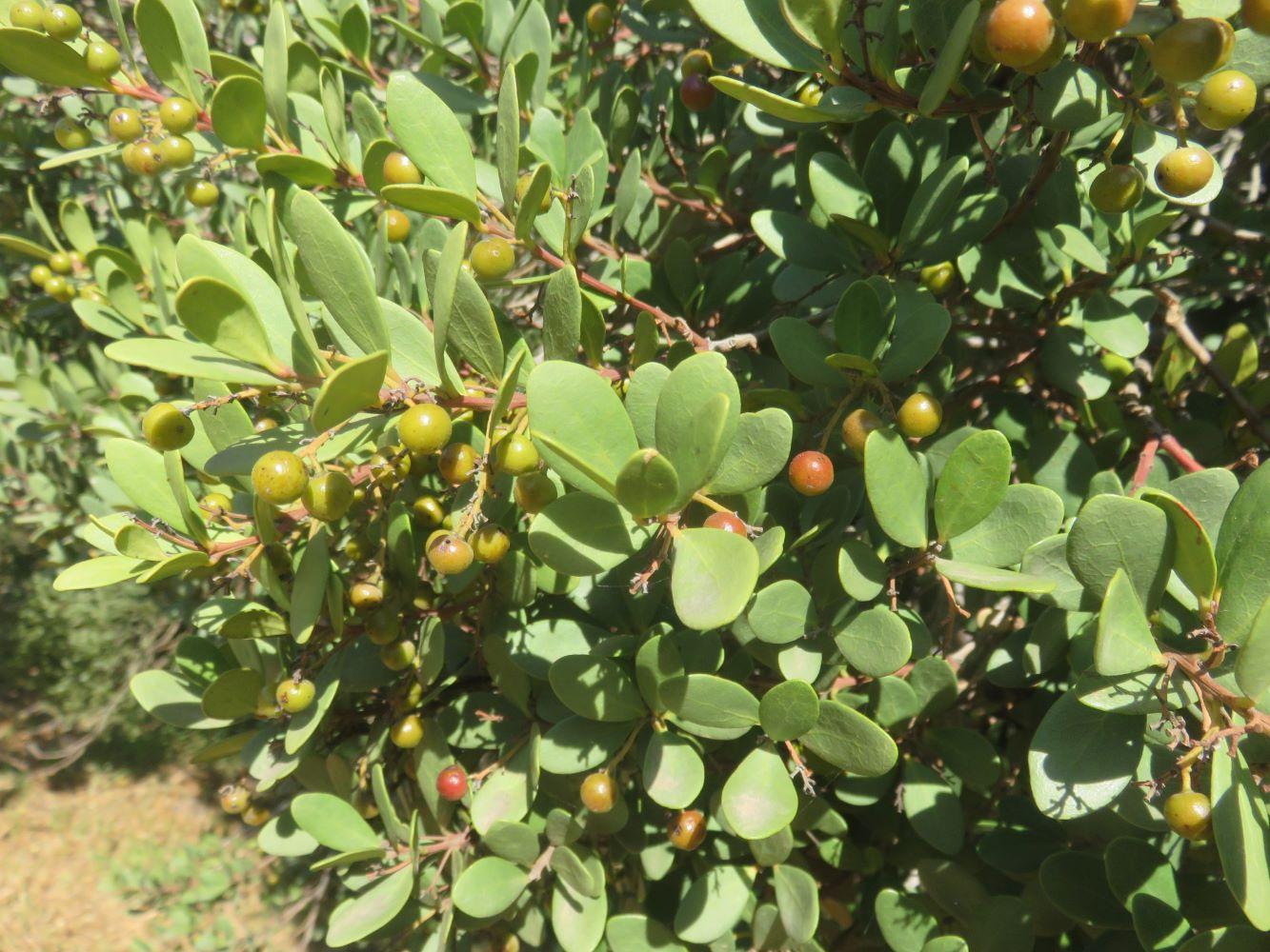 E.racemosa fruit branches