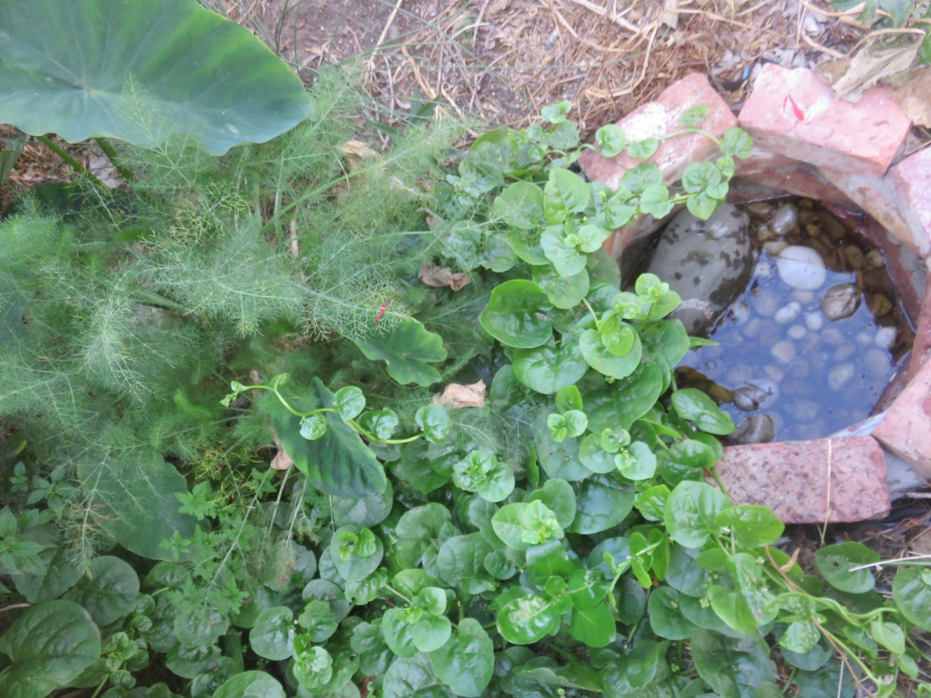 Harnessing living soil in a gray water bio-filter which decomposes the soap and body dirt, to gently and slowly supply plant nutrients. The taro, fennel and climbing spinach are very grateful.