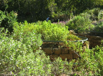 aromatics generally like the good drainage in raised beds