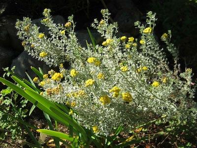 Helichrysum in Kirstenbosch perfume garden