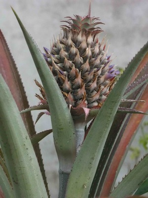 A budding pineapple, as sculpture and colour