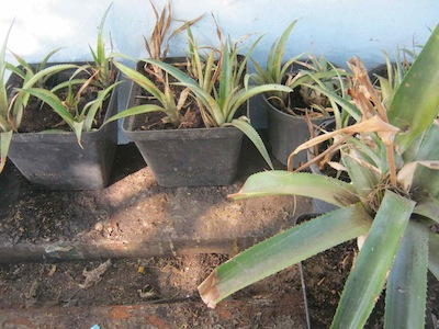 growing pineapples is easy, thirty plants from one mother