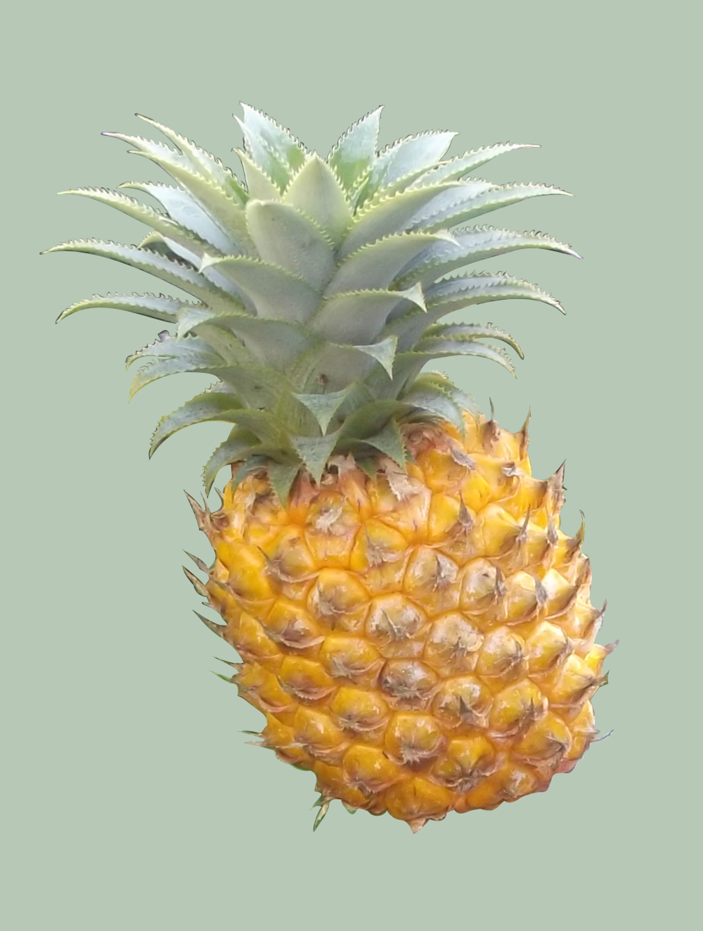 In addition to growing pineapples we make printable designs. This is our home grown pineapple prepared for printing on many items.