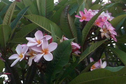 A pink plumeria, or franjipani variety