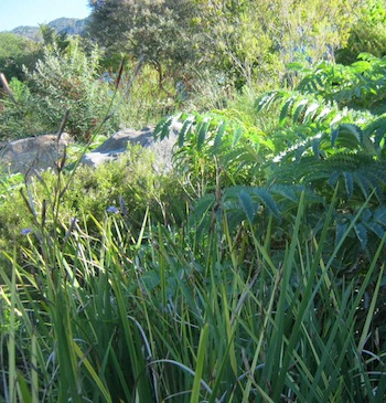 Learn to love the look of indigenous planting for water-wise gardening