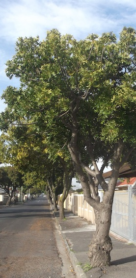 Harpephyllum caffrum is often used as a street tree, it is very hardy.