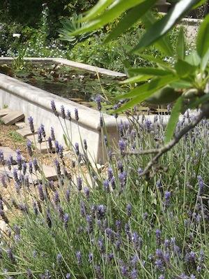 Aponogeton distachyos, an edible native water plant grows in this lovely garden pond
