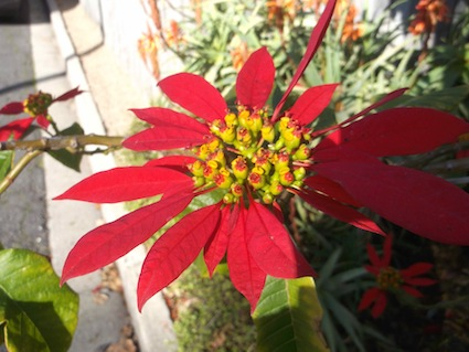 these lovely red flowers are also exotics: pointsettia euphorbia pulcherrima