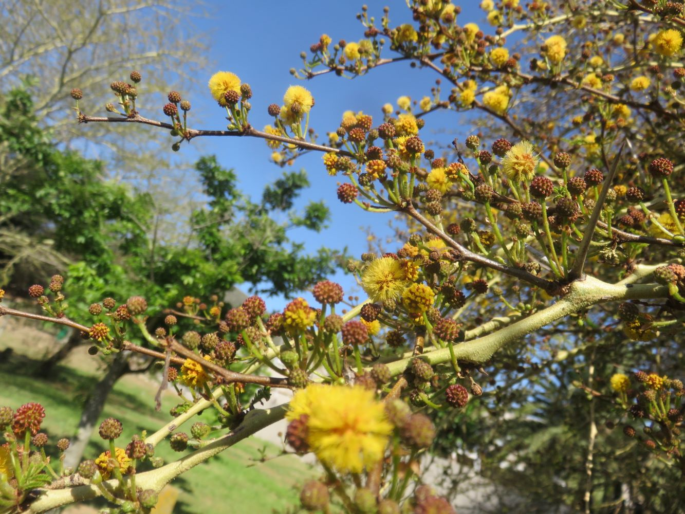 A thorn tree, this one is a green barked fever tree