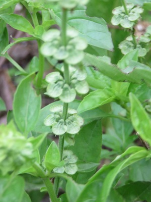 basil looks lovely in the garden and enhances your kitchen