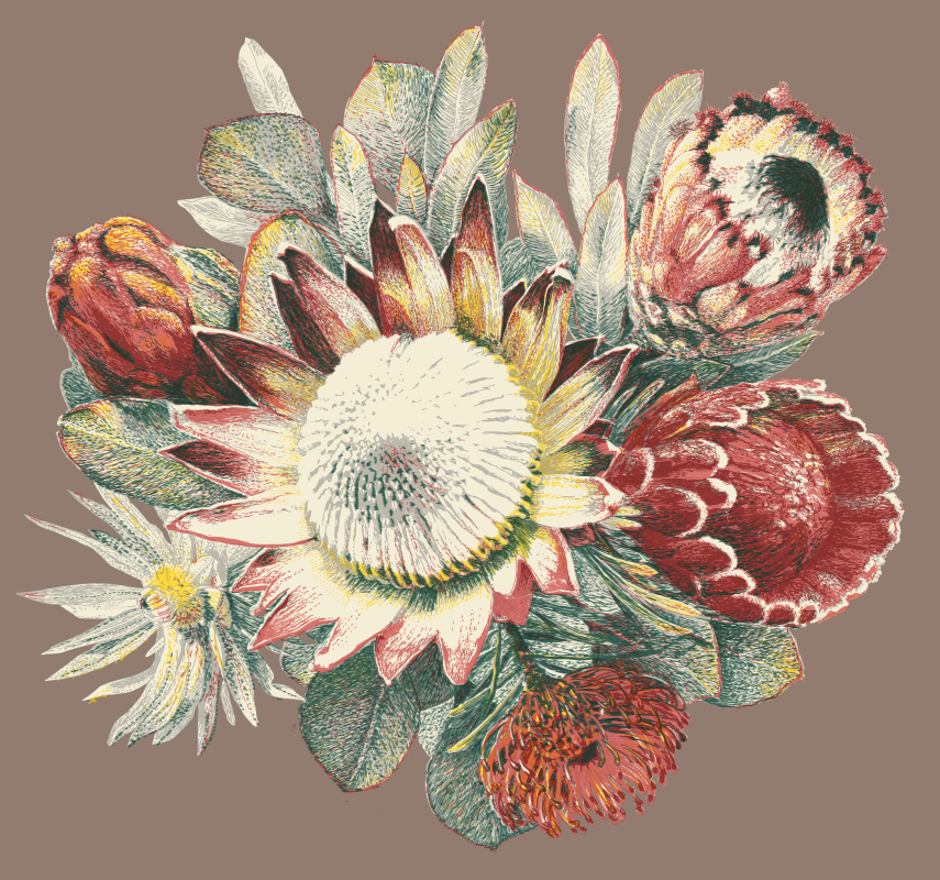 Protea drawing for upholstery and other prints