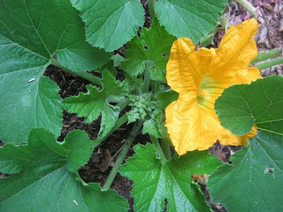 another staple of Mayan agriculture, cucurbits