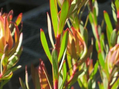 hard leafed plant