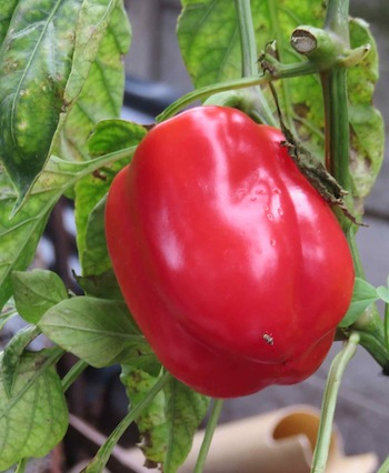 The remaining bell pepper after the first got cooked