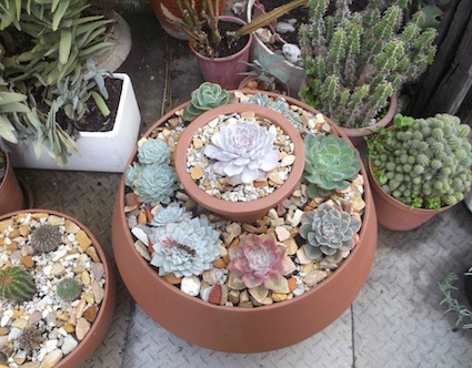 VARIATIONS ON A THEME  A harmonious SUCCULENT GARDEN IN CONTAINERS
