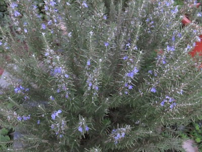 rosemary, another herbal classic