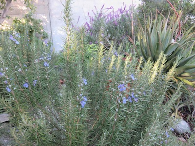 in our backyard garden rosemary grows next to succulents