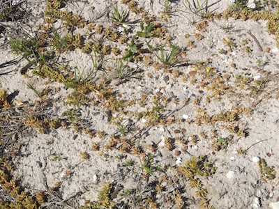 plants with long runners on bare sand