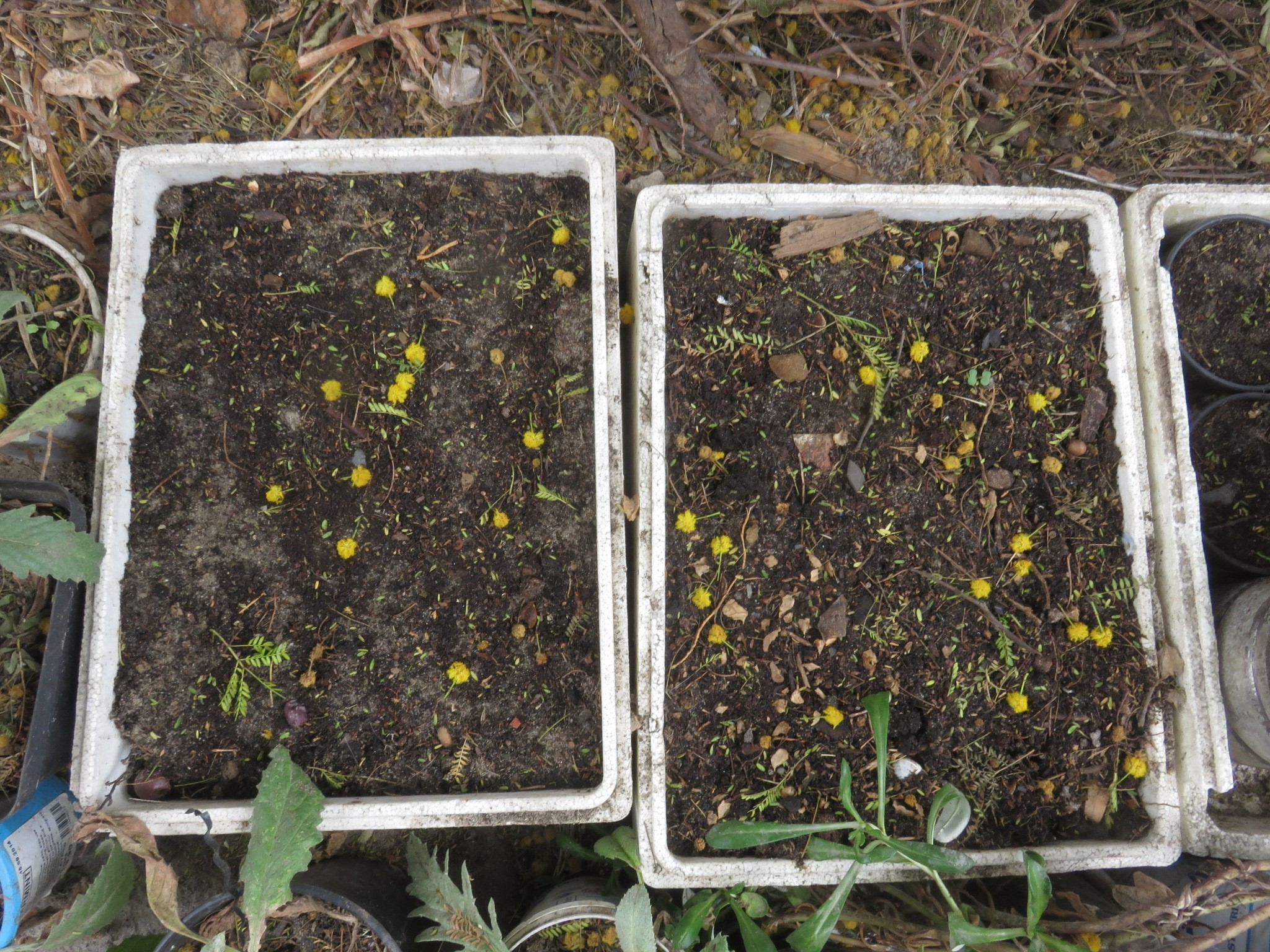 Recycled fish packaging. 40 x 30 x 12 cm polystyrene boxes are good for vegetable and some tree seed, and cuttings. The yellow balls are Acacia karoo flowers.
