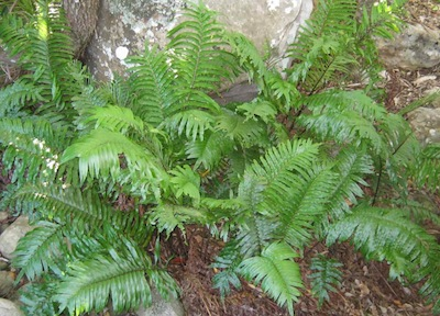 double protection, these ferns grown next to boulders and in the forest shade