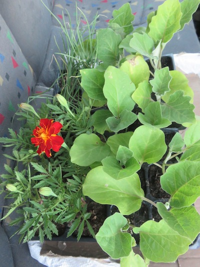 the companions do not know what they are in for: eggplant, marigold, garlic chives waiting in the car