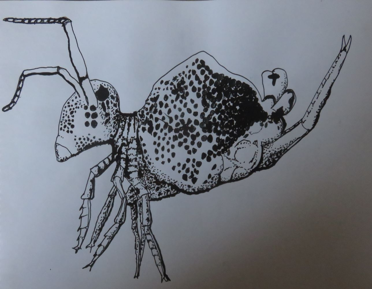 My pen drawing of one of the bizarre and wonderful creatures in the soil, the spring-tail. It is only one to tow millimeters in length.