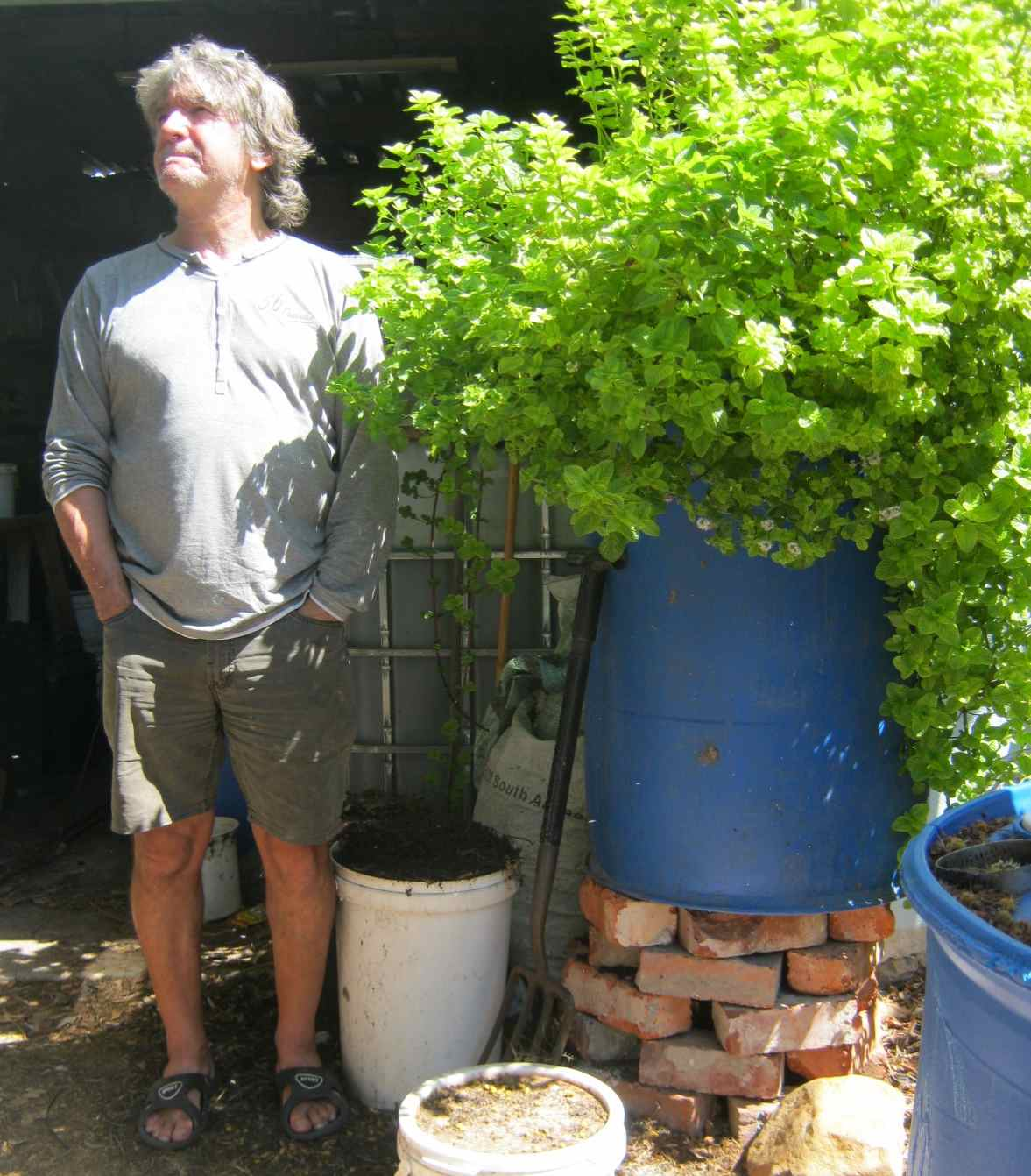 mint thrives in aquaponics, one of the easiest vegetables to grow