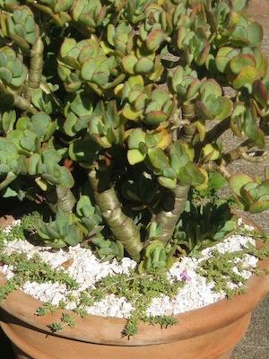 drought tolerant plants with squat nutrient storing stems