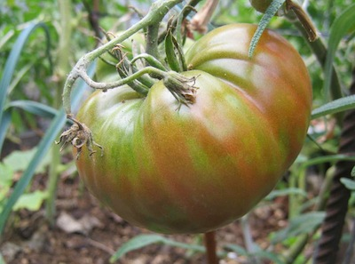 on of the easiest to grow and globally successful nightshade vegetables, the tomato