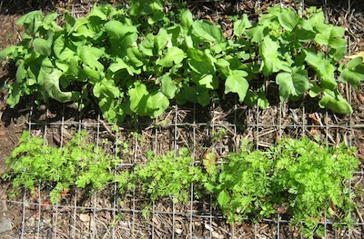the carrots and radishes sown in the bed under wire mesh