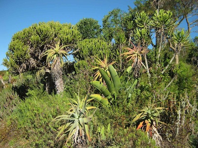 Kirstenbosch succulent garden recreates the thorny thickets of our eastern coast, where elephants feed off resilient herbivore adapted vegetation
