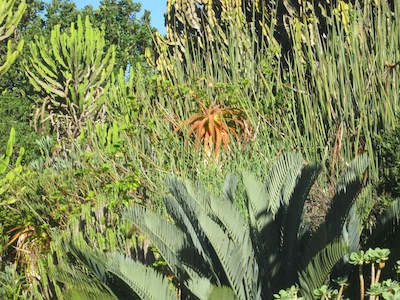 robust succulent thicket for water-wise planting