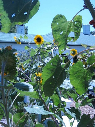 sunflowers in a permaculture garden