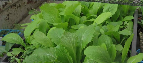 mustard and Chinese cabbage seedlings tend to swamp the others