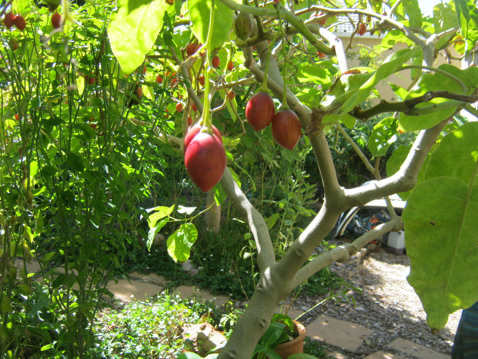 The mother plant of my tamarillos, in the Urban Farmstead in Tokai